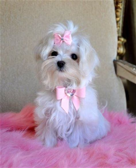 shih tzu puppies for sale in chattanooga tn 4673 best images about puppies on teacup