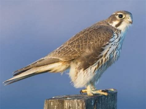images of a falcon falcon