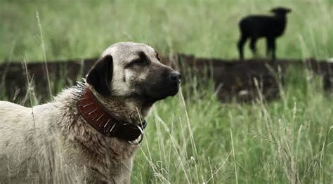 video guardian dogs high country news