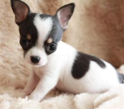 teacup chihuahua puppies 143 best baby animals images on animals puppies and dogs