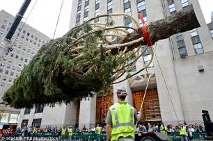 rockefeller center christmas tree put in place as new york