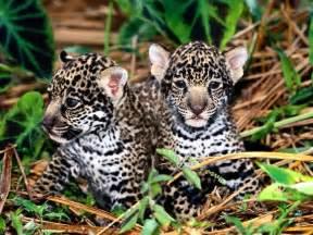 About Jaguar Photos Jaguar