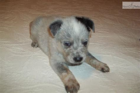blue heeler puppies for sale in iowa australian cattle blue heeler puppy for sale near dubuque iowa c5f0c6fb 7e71