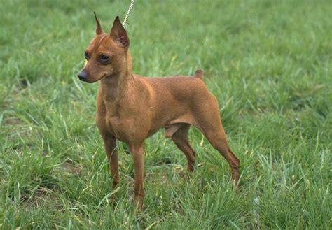 miniature in miniature pinscher puppies for sale akc puppyfinder