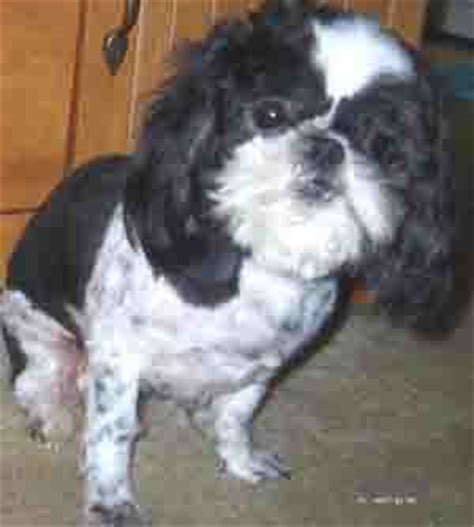cushing s disease in dogs treatment cushing s disease in s symptoms and treatment