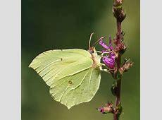 Sitronsommerfugl – Wikipedia Habitat Köln