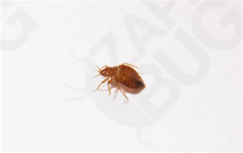 bed bug pictures actual size adult bed bug