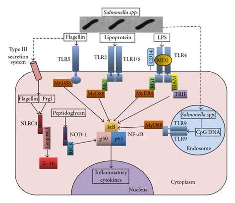 pattern recognition receptors multiple sclerosis innate immune sensors and gastrointestinal bacterial