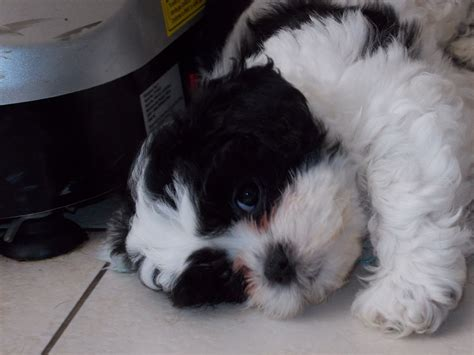 puppies for sale jackson mi shichon teddy puppies for sale in jackson michigan breeds picture