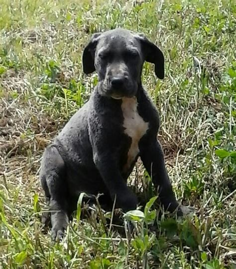 great dane puppies for sale in ky akc breeder blue great dane puppies for sale ky