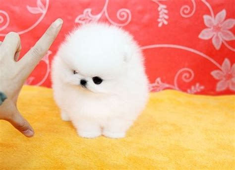 teacup pomeranian breeders uk white teacup pomeranian puppies manchester greater manchester pets4homes