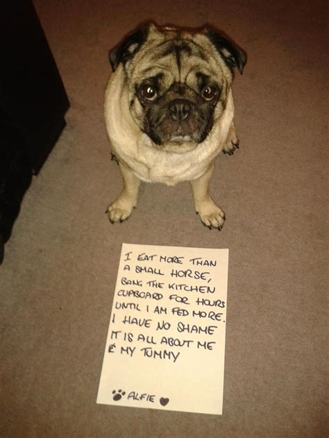 how much should a pug eat 1000 images about pugs are so much on pug pugs and so true
