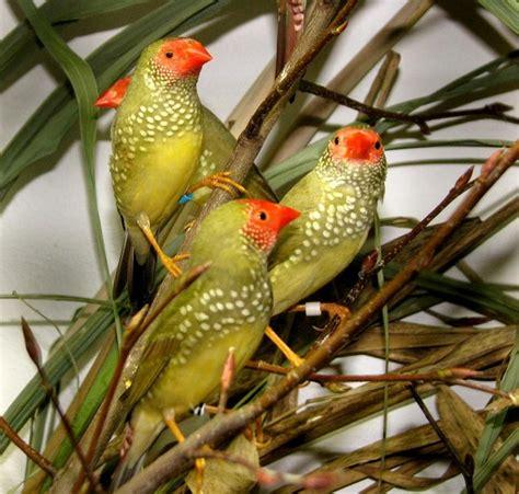 uccelli esotici da gabbia uccelli da gabbia diamante coda rossa