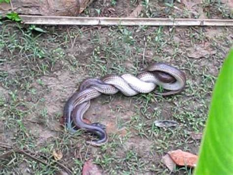 how does a to be to breed two snakes mating