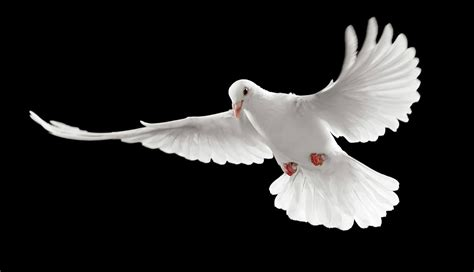 doves hd wallpaper 557370 jpg pigeons wallpapers hd pictures one hd wallpaper pictures