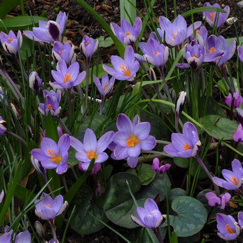crocus minimus crocus species spring flowering mcclure zimmerman