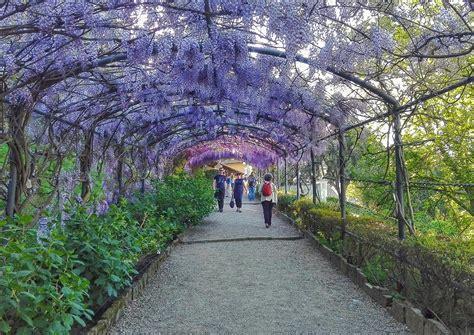 giardino villa glicini in fiore al giardino bardini cosa fare a firenze
