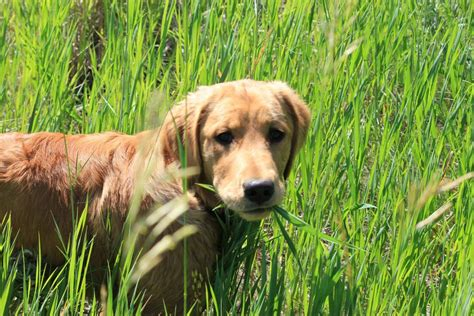 when dogs eat grass our naperville animal hospital naperville il