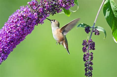 attracting butterflies and hummingbirds to your backyard 17 best images about hummingbirds on pinterest meaning