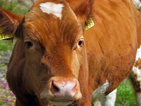 Bibit Sapi Metal kami membantu anda dalam pengadaan bibit pedet sapi umur 4