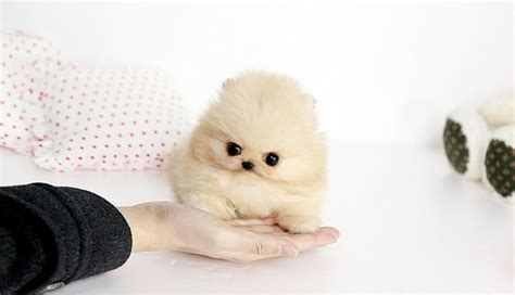 how do miniature pomeranians live 84 best images about micro teacup pomeranians on rick and i want and