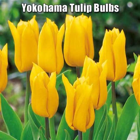 buy yellow yokohama tulip bulbs   irelands lowest