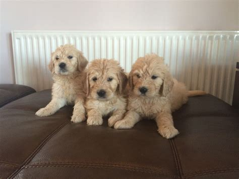 goldendoodle puppies for sale lovable goldendoodle puppies for sale ebbw vale blaenau