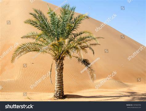 images tree palm tree in desert liwa dunes liwa hotel uae stock
