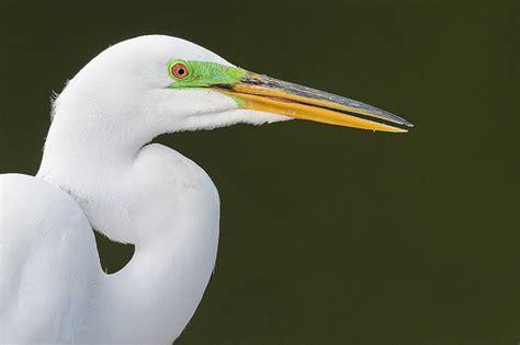 egret color great egret colors great egret ardea alba in br flickr photo