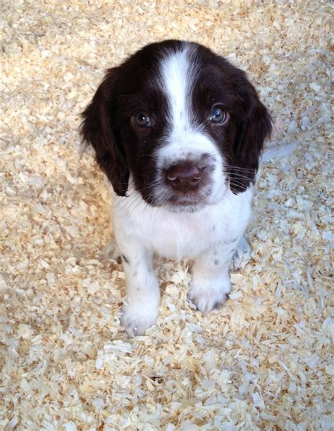 springer puppies springer spaniel puppies free large images