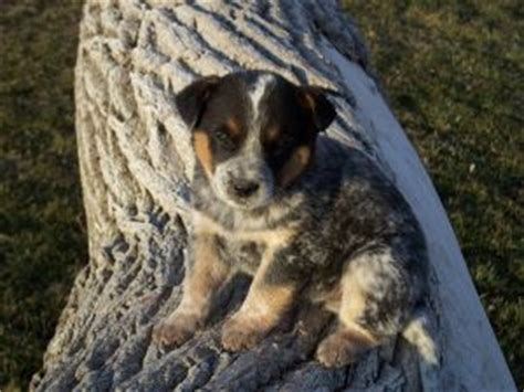 puppies for sale in falls idaho australian cattle puppies in idaho