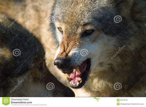 snarling wolf stock photo image of canis grey beast