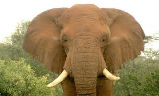 African Elephant Facts For Kids » Home Design 2017