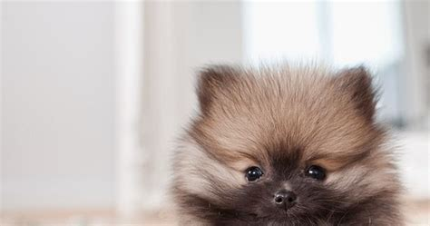 interesting facts about pomeranians 10 interesting facts about pomeranian many