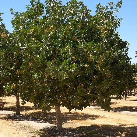 pista tree images pistachio trees for sale fast growing trees
