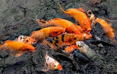 Essen Ikan Kilo Gebrus umpan ikan kilo gebrus aroma melon jaya essen