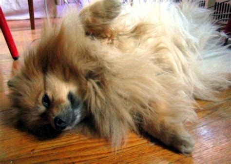 do pomeranian dogs shed 5 breeds that shed a lot pethelpful