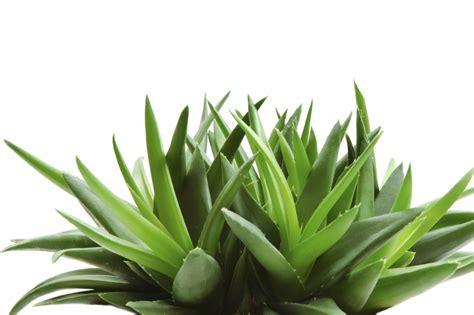 Cactus Planter by 15 Aloe Vera Healthy Skin Dekanius