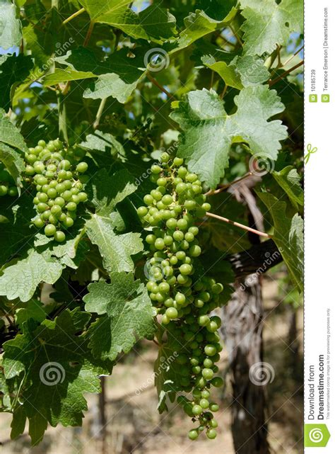 green grape leaves and new grapes royalty free stock images image 10185739