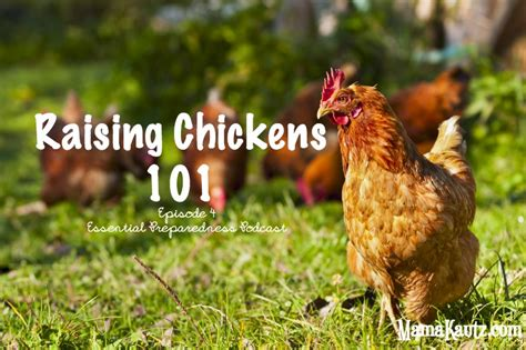 Raising Chickens 101 Backyard Chickens 101