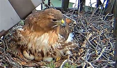 cornell bird watching website 451 best images about webcams on lakes myrtle and animal planet live