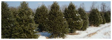awesome picture of christmas tree farms in northern