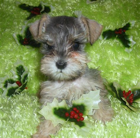schnauzer puppy puppy images and review