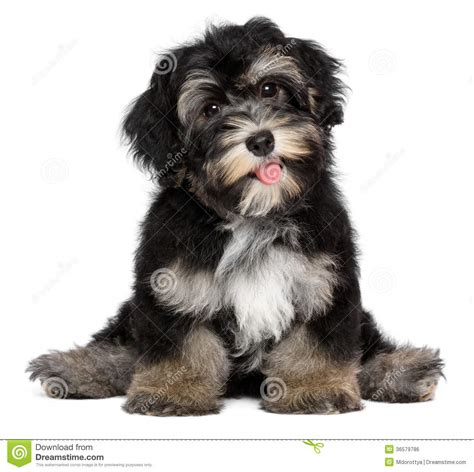 black havanese smiling black and havanese puppy stock photo image of friend lovely