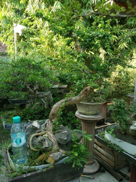 Sisir Di Indo 258 sisir 2 jual bonsai murah pohon tanaman