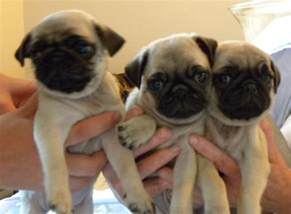 Pugs For Sale In Seshafy Pugs For Sale Redditch Worcestershire Pets4homes
