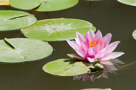 ninfea fiore di loto foto gratis ninfea lago loto fiore stagno immagine