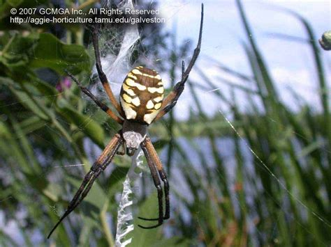 Garden Spider Mn 46 Best Images About Spiders Rule Natives On