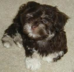 havanese breeders bc elite havanese canadian puppy and breeders in columbia canada