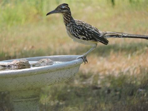 roadrunner seeking water in the birdbath in our garden